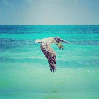 A graceful pelican flying over the pristine ocean.