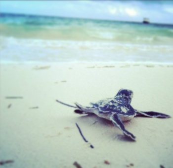 Baby sea turtle shuffling to sea!