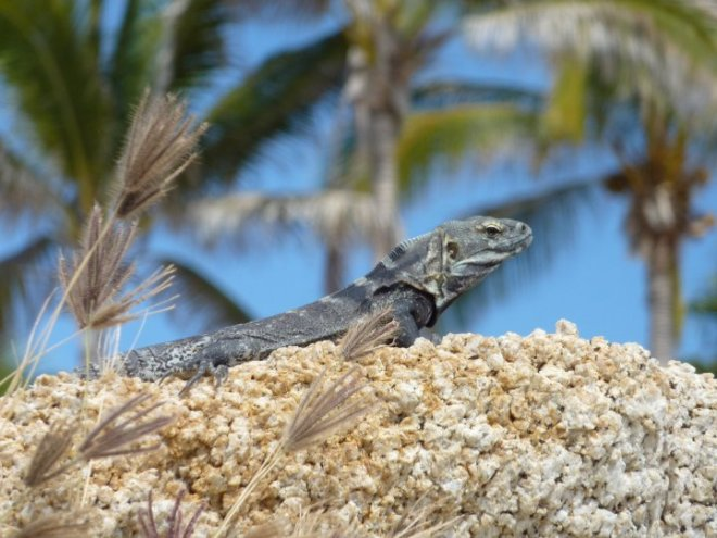 This fellow blends in quite well, but keep your eyes peeled! You'll spot several iguanas during your time at Zoëtry Casa del Mar Los Cabos.