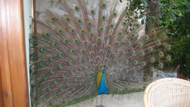 Paco the peacock is a regular at Zoëtry Agua Punta Cana.