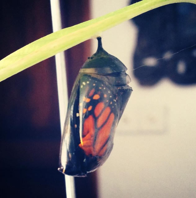 The black cocoon is the primary stage of the Monarch caterpillar's transformation.