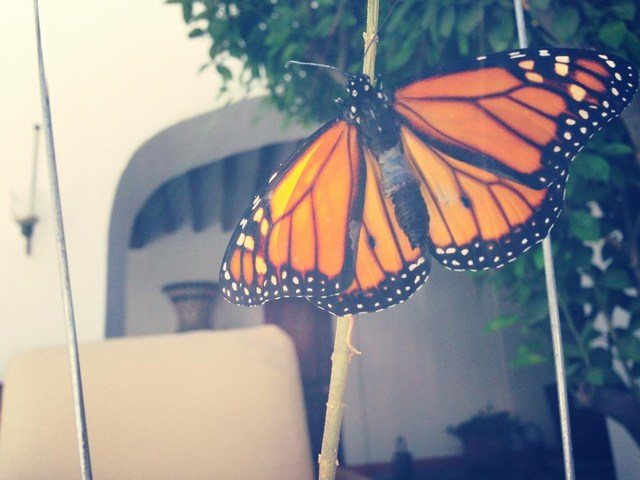 The transformation is complete! The result is a gorgeous Monarch butterfly!